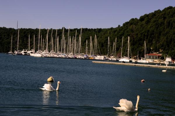 Cisnes en el río Krka, en el pueblo Skradin. Los cisnes son reales y viven libres