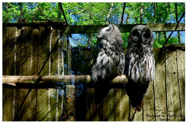 """Animales graciosos si los hay. Uno de los búhos se hace el desentendido: """"Avísame cuando se vaya, no quiero saber nada con que me fotografíen"""" parece decirle a su compañero."""