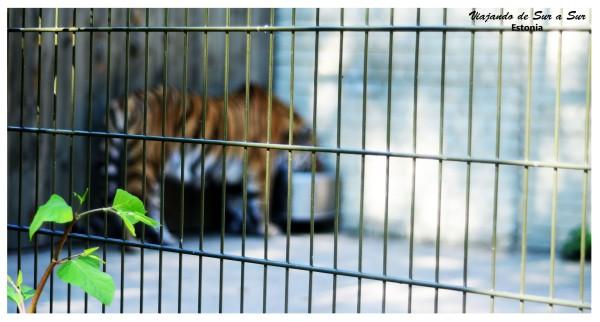 Las rejas parecen prevenir al tigre de los animales que van a verlo.