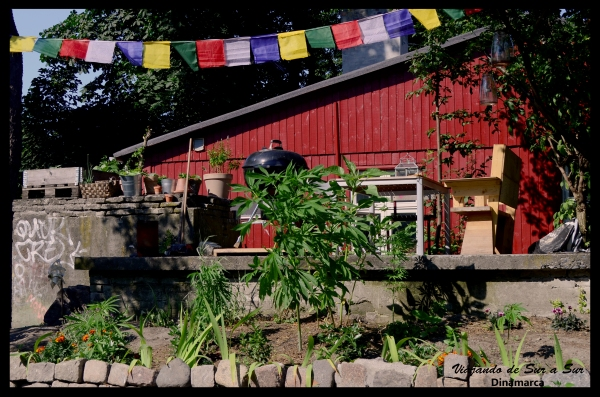 La codiciada plantita verde crece libre y no se comercializa en las casas de los antiguos fundadores.