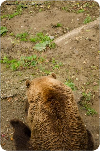 uno de los osos de Berna