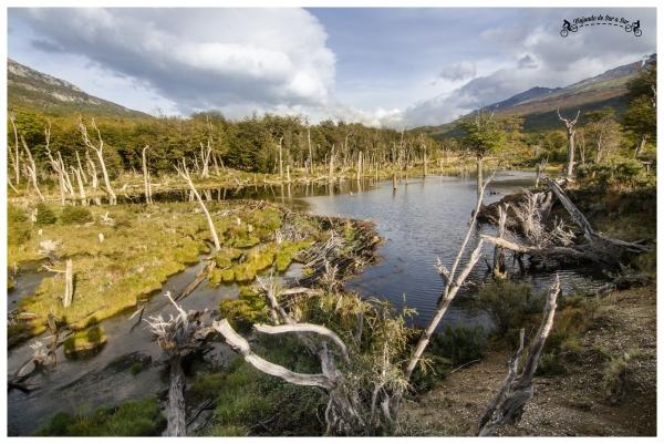 Castorera en el Parque Nacional Tierra del Fuego